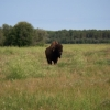 Curious Wood Bison in Sweetgrass, WBNP 2010