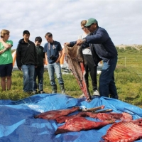 Izaak and Brandon with group observing caribou butchering by Elder Archie Wetrade. Summer 2013.