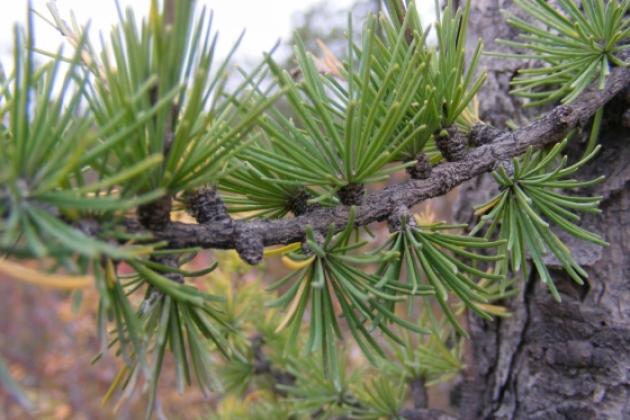 Ethnobotany Garden; Tamarack tree branch